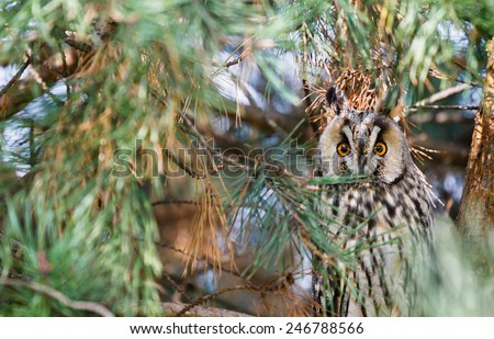 Long eared owl Asio Otus sit on a pearch of and stare - stock photo