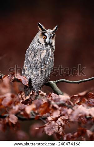 Long-eared Owl (Asio otus) sitting on orange oak branch during autumn - stock photo