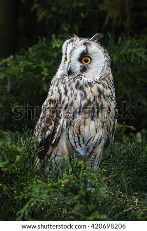 Long-eared Owl looking around. A beautiful long-eared owl looks around from its perch in some vegetation. - stock photo