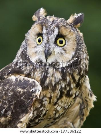 Long Eared owl pose - stock photo