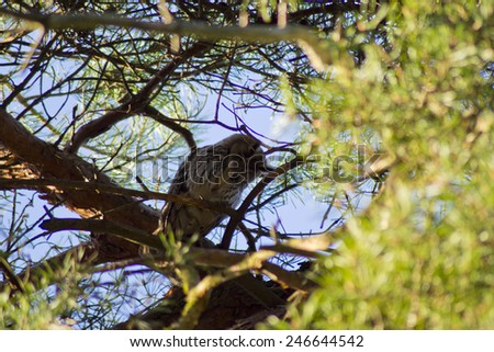 long-eared owl scratching in dutch forrest - stock photo