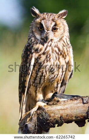 long-eared owl sitting on branch - stock photo