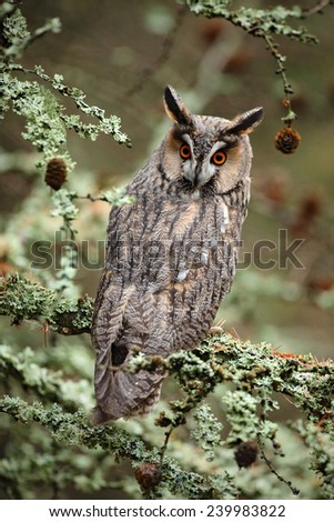 Long-eared Owl sitting on the branch in the fallen larch forest during autumn - stock photo