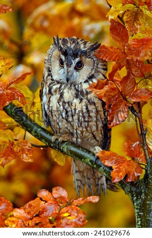 Long-eared Owl with orange oak leaves during autumn   - stock photo
