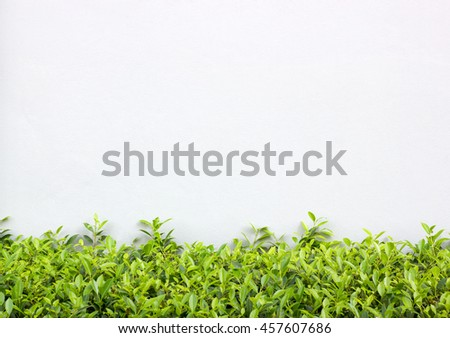 Long Green Bush or Hedgerow in front of White Concrete Wall, Nature Background with Copy Space - stock photo