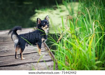 Long-hair Chihuahua dog standing on wooden bridge near pond - stock photo