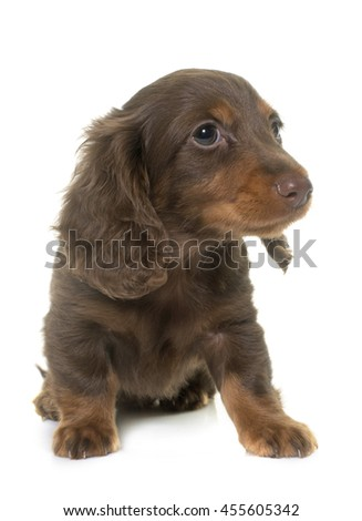 long hair dachshund in front of white background - stock photo