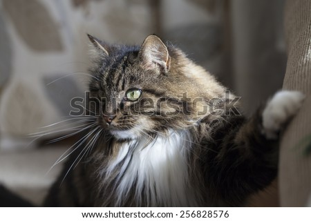 Long hair domestic cat indoors - stock photo
