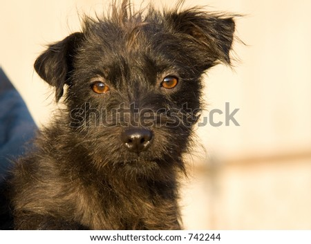 Long hair patterdale terrier