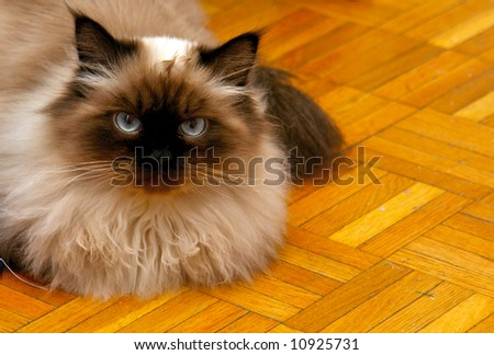 long haired, blue eyed, Seal point himalayan cat laying on wooden floor - stock photo