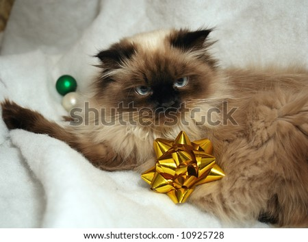 long haired, blue eyed, Seal point himalayan cat laying with christmas bow and ornaments - stock photo