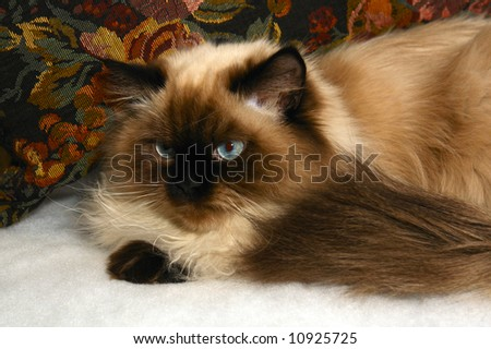 long haired, blue eyed, Seal point himalayan cat sitting in front of pillow - stock photo