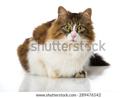 Long Haired cat