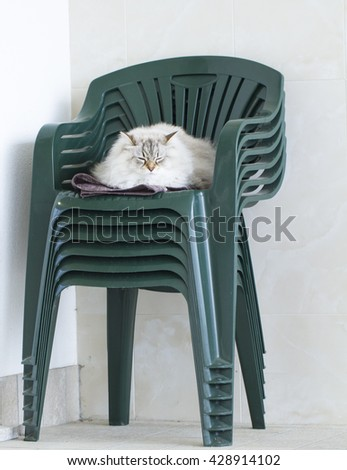 long haired cat, white neva masquerade siberian breed, on the ch - stock photo