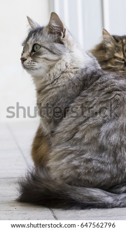 Long haired cats, siberian breed female silver