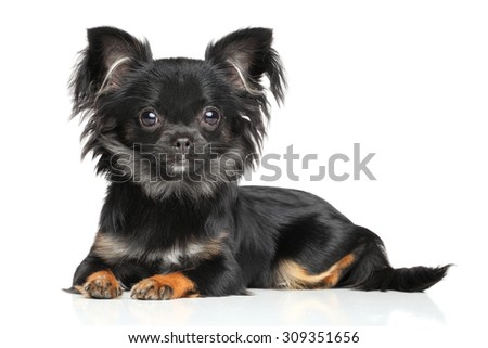 Long-Haired Chihuahua puppy lying on white background - stock photo