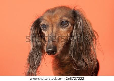 Long haired dachshund on orange background - stock photo