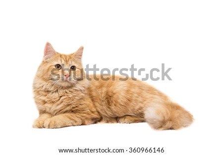 Long-Haired Orange Tabby Cat Lying Down on Isolated White Background. - stock photo