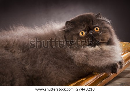 Long haired persian cat on the table