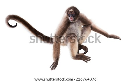 Long-haired spider monkey. Isolated over white background - stock photo