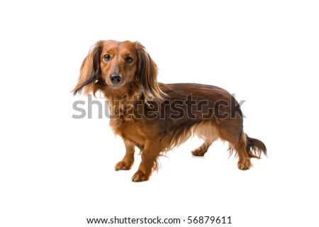 long haired standard dachshund dog isolated on a white background