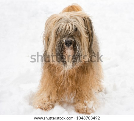 Long-haired tibetan terrier standing in the snow