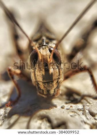 Long-horend Grasshopper or cricket - stock photo