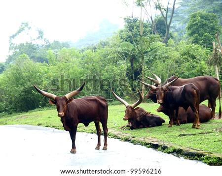 long horn wild cow in safari park - stock photo