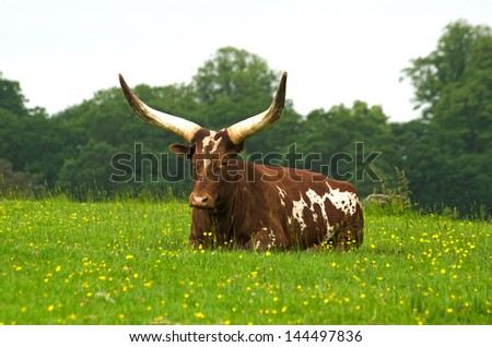 Long horned Ankole cow - stock photo