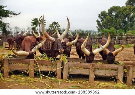Long horned Ankole Watusi cows in Rwanda - stock photo