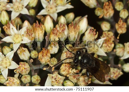 Long-horned Bee (Melissodes bimaculata) visiting flowers - stock photo