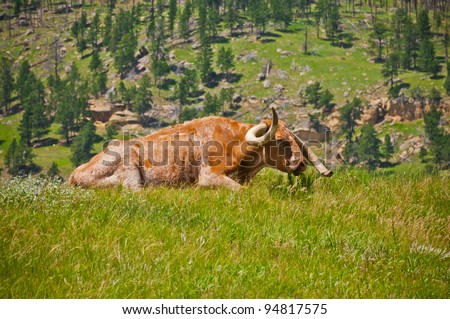 Long Horned Livestock grazing in a pasture by Devils Tower, Wyoming.