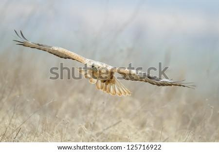 Long-legged Buzzard (Buteo rufinus) in flight - stock photo