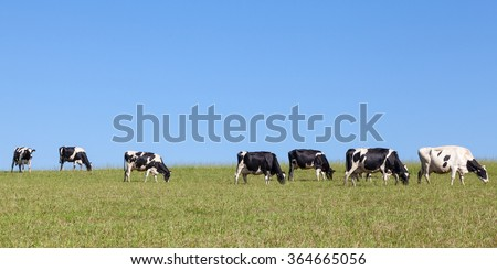 Long line of black and white Holstein dairy cattle with full udders walking on the skyline in an open grassy pasture as the cows in the herd return home for milking, panoramic format - stock photo