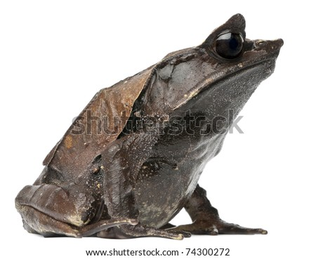 fantasy horned frog ceratophrys cornuta hot girls wallpaper