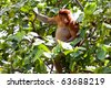 Long nosed probiscus monkey sitting in a tree - stock photo