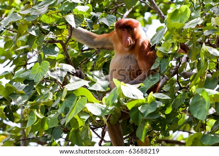 Long nosed probiscus monkey sitting in a tree