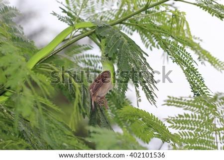 Long-nosed whip snake, Green vine snake eating house sparrow on the tree. (Ahaetulla nasuta) (Colubridae) - stock photo