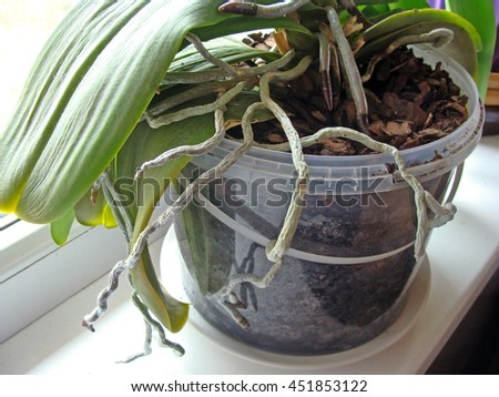 Long orchid roots as snakes are growing out from flower pot.