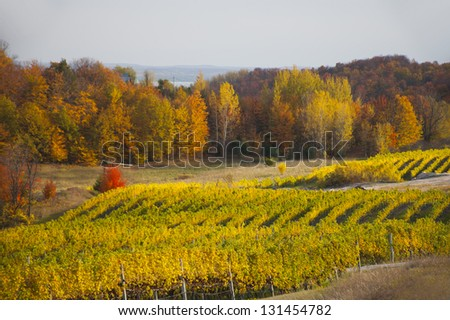 Long rows of green and golden grape leaves in an autumnal vineyard, with bright sun - stock photo
