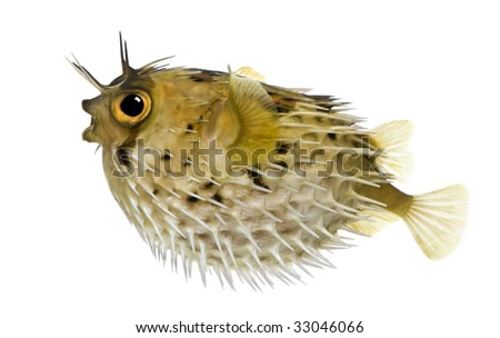 Long-spine porcupinefish also know as spiny balloonfish - Diodon holocanthus in front of a white background - stock photo