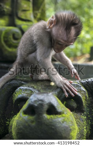 Long-tailed baby macaque (Macaca fascicularis) in Sacred Monkey Forest, Ubud, Indonesia - stock photo