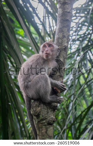 Long-tailed Macaque climbing a tree, Monkey Forest, Ubud, Bali - stock photo