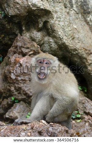 Long-tailed Macaque ( Macaca fascicularis)buddha-cave,Thailand, Asia