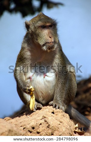 Long tailed macaque ( Macaca fascicularis ) foraging in outer area of Angkor Wat,  Cambodia