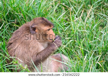 Long-tailed macaque or Crab-eating macaque monkey sit eating grass