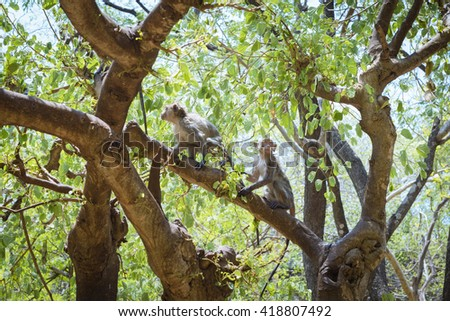 Long-tailed macaques, also known as the crab-eating macaques (Macaca fascicularis) climbing a tree