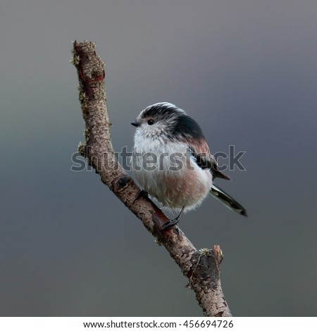 Long-tailed tit, also known as Long-tailed Bushtit on a bare branch - stock photo