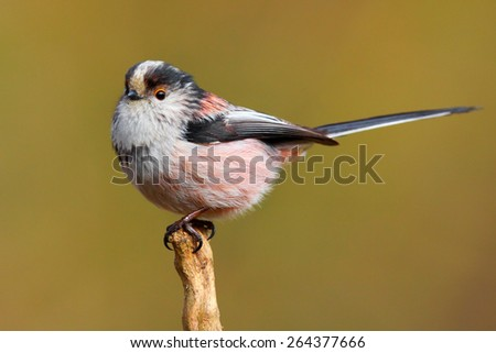 Long tailed tit bird in the wild - stock photo