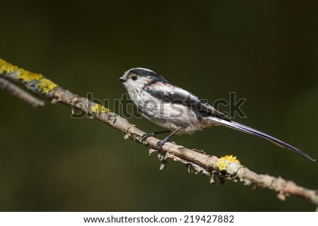 Long tailed tit front of nice green background - stock photo